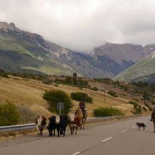 Patagonian cattle drive